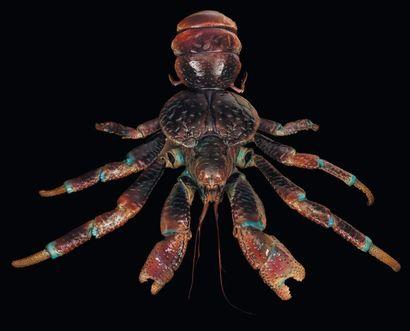 Crabe des cocotiers Birgus latrus Taille:...