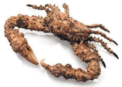 Crabe pierre Dromia sp. Envergure: 25 cm