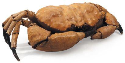 Carpilus Envergure: 45 cm