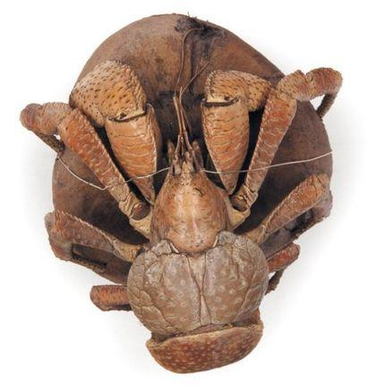 Crabe des cocotiers Birgus latro Envergure: 16 cm