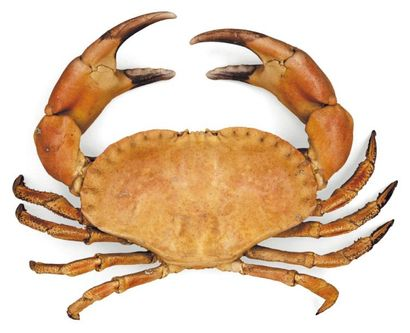 Crabe «cancer» Cancridae Envergure: 43 c...