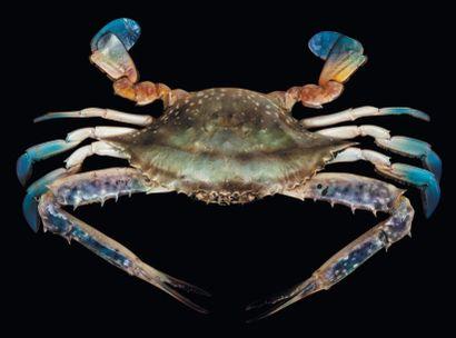 Crabe nageur Portunus sp. Envergure: 34 ...