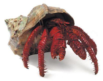Bernard l'Hermite - Paguroidea Envergure:...