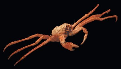 Majoidea Envergure: 73 cm