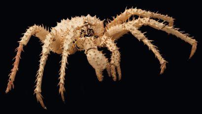 Crabe royal du Kamtchatka Paralithodes camtschaticus....
