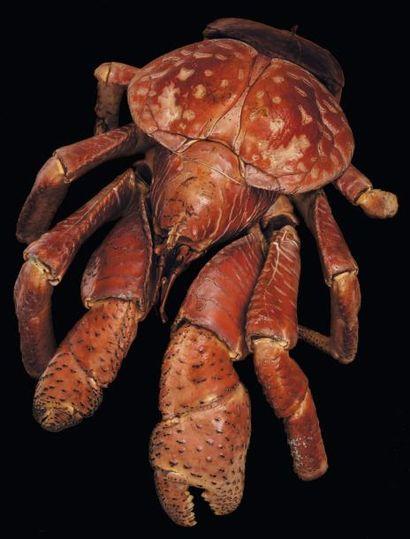 Crabe des cocotiers - Paguroidea Taille:...