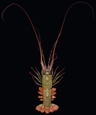 Langouste Palinurus sp. Taille: 70 cm