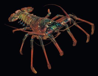 Langouste Palinurus sp. Superbe spécimen...