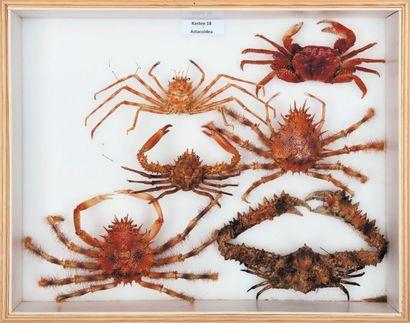 Majidae et Parthenopidae 6 exemplaires.