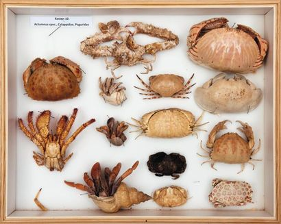 Crabes honteux (Callapa), Bernard l'hermite...