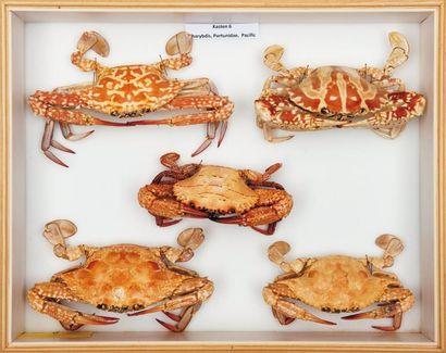 Crabes nageurs Portunus sp.