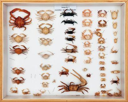 Crabes violonistes Uca et divers.