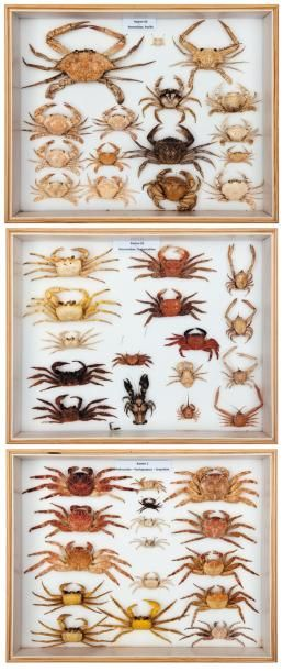 Lot de trois boîtes: Crabes nageurs Portunus...