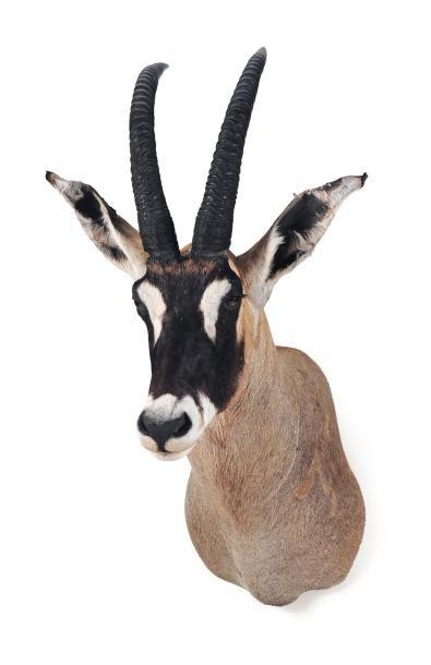 Trophée d'antilope cheval H_115 cm