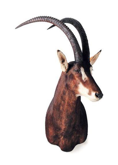 Trophée d'antilope de sable H_115 cm