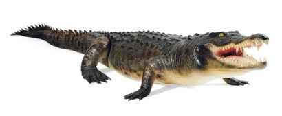Crocodile entier naturalisé Le permis Citès...