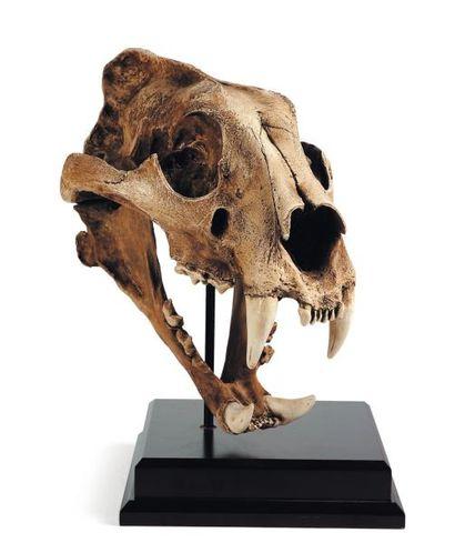 Crâne de tigre de Sibérie en résine. H_38 cm L_35 cm (avec socle)