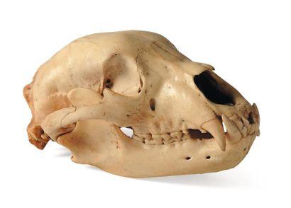 Crâne d'ours polaire Le permis Citès sera...
