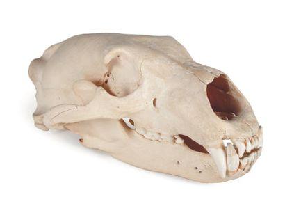 Crâne d'ours. H_13 cm L_33 cm
