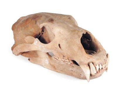 Crâne d'ours polaire Le permis Citès sera remis à l'acquéreur. H_14,5 cm L_38 c...