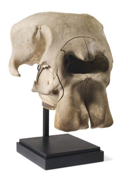 ELEPHANT Loxodonta africana (I/A) Crâne d'un...