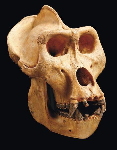 GORILLE Gorilla gorilla (I/A) Crâne d'un...
