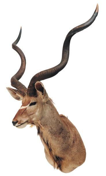 Trophée de grand kudu H_180 cm environ