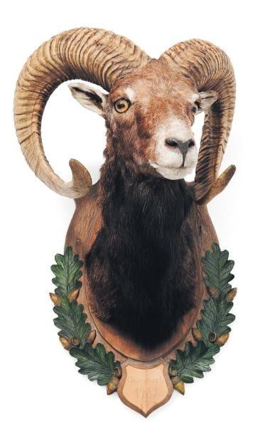 Trophée de mouflon sur un écusson en bois...