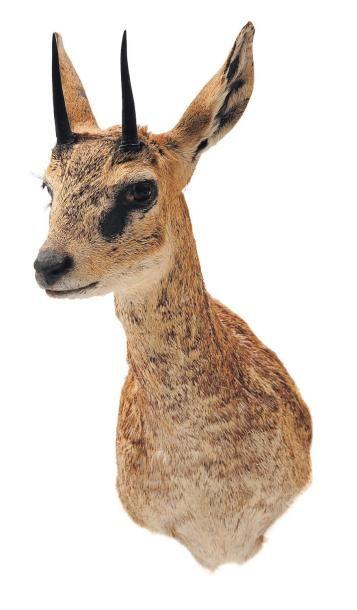 Trophée d'animal africain H_47 cm