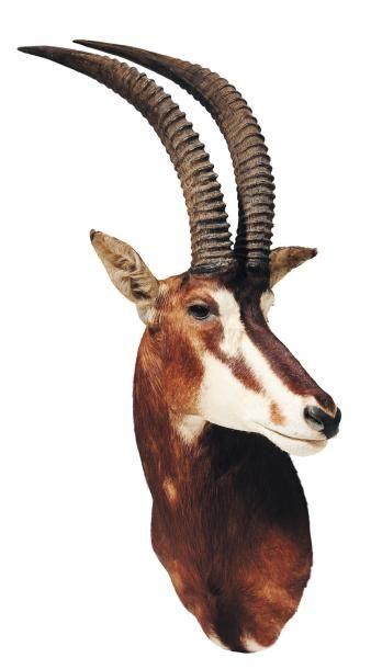 Tête d'antilope sable naturalisée (accidents)...