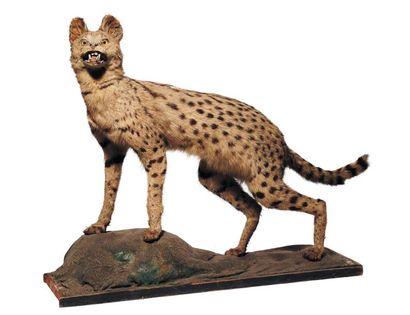 """Chat sauvage """"serphal"""" naturalisé. H_65 cm L_75 cm"""