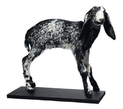 Chèvre pigmée naturalisée. H_48 cm L_50 ...