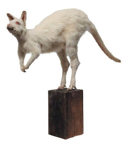 Kangourou albinos naturalisé. H_74 cm L_105...