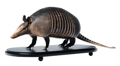 Tatou (Dasypus Novemcinctus) naturalisé.