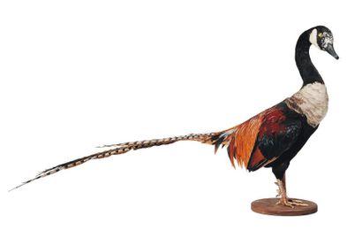 Oiseau hybride empaillé.