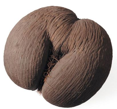Coco fesse brute. H_30 cm