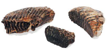 Lot de trois dents de mammouth fossilisé...
