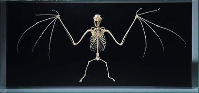 Squelette de chauve souris dans une boîte...