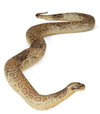 Important python naturalisé. L_env. 430 ...