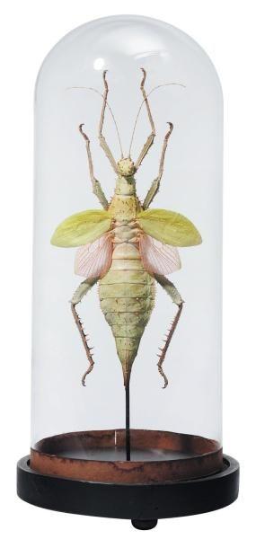 Gros phasme aux ailes vertes et roses (Heteropteryx...