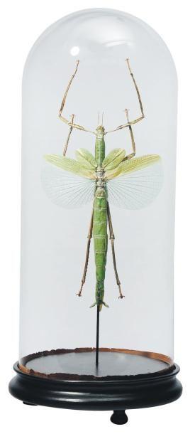 Phasme géant vert (Eurychnema versirubra)...