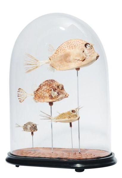 Squelettes de Box fishes sous un globe. H_48...