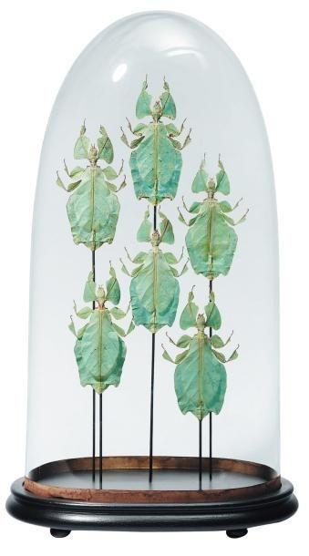 Belles phyllies (Phyllium giganteum) sous...