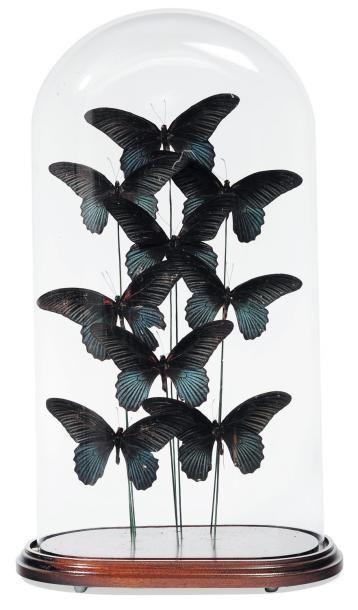 Composition de papillons dans un globe. H_51...