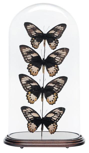 Composition de papillons sous un globe H_51...