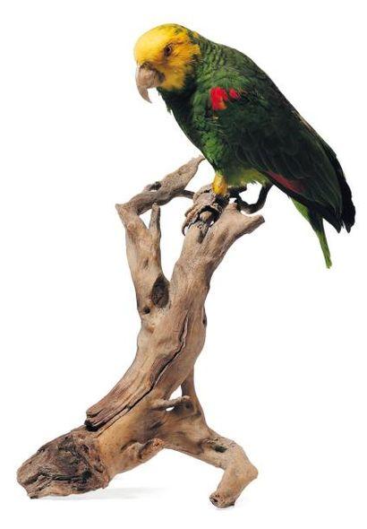 Perroquet vert et jaune naturalisé sur une...