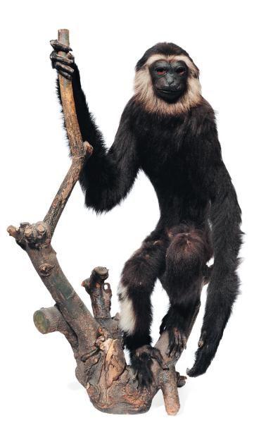 Gibbon naturalisé sur une branche. Le permis...