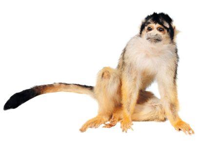Petit singe naturalisé. H_21 cm