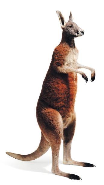 Kangourou naturalisé. H_143 cm