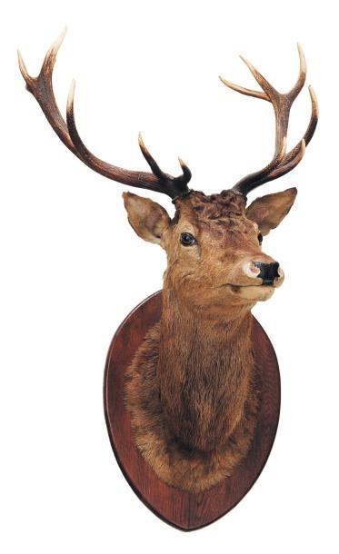 Tête de cerf naturalisée. H_140 cm